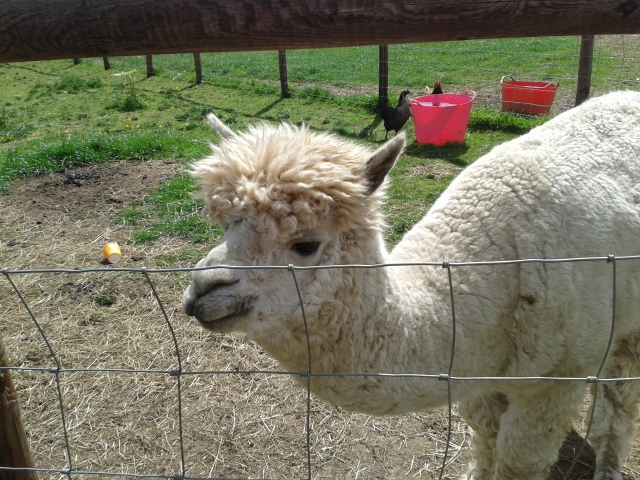 Alpaca at Mini Meadows
