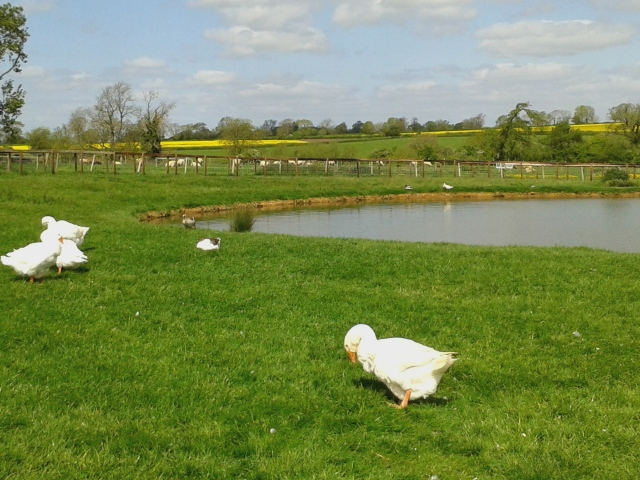 Duck and geese pond at Mini Meadows
