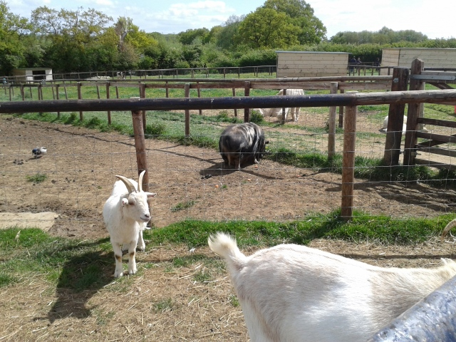 Goats and pig at Mini Meadows