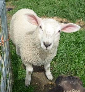 Lamb at Mini Meadows