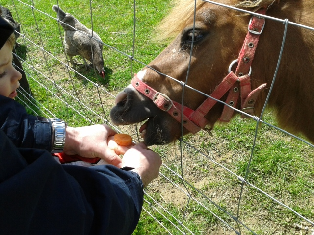 Shetland pony at Mini Meadows